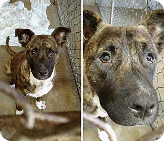 Bull Terrier/Pit Bull Terrier Mix Dog for adoption in Albertville, Alabama - Dianna