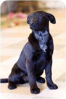 Labrador Retriever Mix Puppy for adoption in Portland, Oregon - Tiny