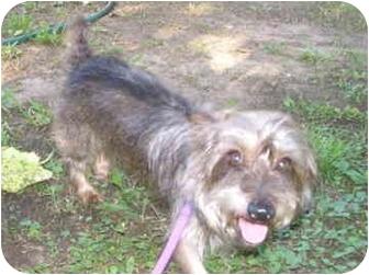 Yorkie, Yorkshire Terrier/Schnauzer (Miniature) Mix Dog for adoption in Lewisville, Texas - Fletcher