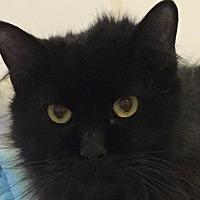 Domestic Longhair Cat for adoption in Bourbonnais, Illinois - Otis