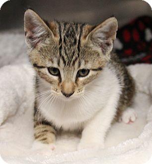 Domestic Shorthair Kitten for adoption in Stockton, California - Apollo