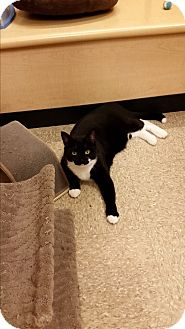 Domestic Shorthair Cat for adoption in East Hartford, Connecticut - Jeezy (in CT)