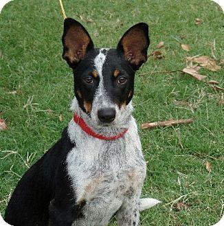 Australian Cattle Dog/Jack Russell Terrier Mix Dog for adoption in Allentown, Pennsylvania - Einstein