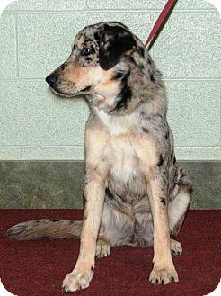 Australian Shepherd Dog for adoption in Ada, Oklahoma - SAIGE