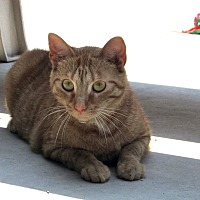 Domestic Shorthair Cat for adoption in Washingtonville, New York - Georgi