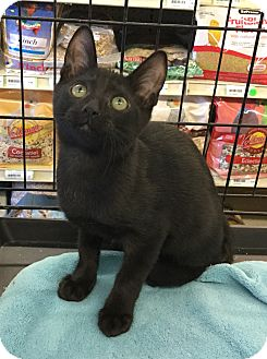 Domestic Shorthair Kitten for adoption in Gilbert, Arizona - Elvis