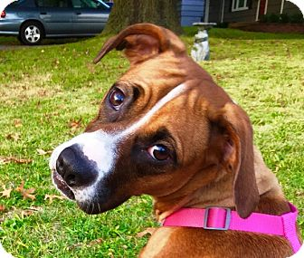 Beagle/Boxer Mix Dog for adoption in Overland Park, Kansas - TILLY