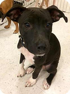 Labrador Retriever Mix Dog for adoption in East Hartford, Connecticut - Pirate in CT