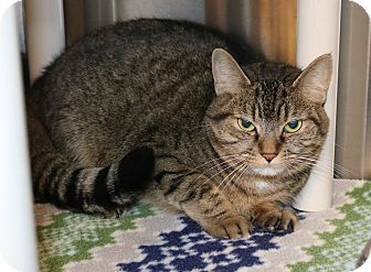 Domestic Shorthair Cat for adoption in Council Bluffs, Iowa - Stella