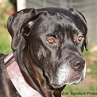 Mastiff/Great Dane Mix Dog for adoption in Grand Blanc, Michigan - Bonnie- **Sweet Senior**