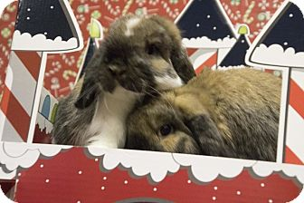 Lop, Holland for adoption in North Lima, Ohio - Chester