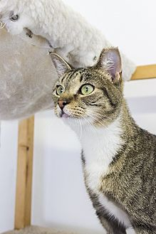 Domestic Shorthair Cat for adoption in Baltimore, Maryland - Stella