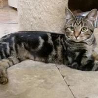 Domestic Shorthair/Domestic Shorthair Mix Cat for adoption in Shelbyville, Kentucky - Daphne