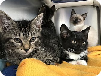 Domestic Shorthair Kitten for adoption in Morristown, New Jersey - Meera
