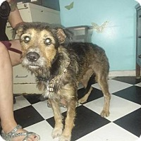 Terrier (Unknown Type, Medium) Mix Dog for adoption in Iroquois, Illinois - Whiskers