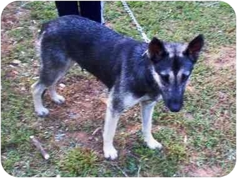German Shepherd Dog/Husky Mix Dog for adoption in Marion, North Carolina - Spirit