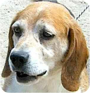 Beagle Dog for adoption in Colorado Springs, Colorado - Bobo