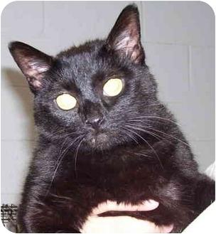 Domestic Shorthair Cat for adoption in Somerset, Pennsylvania - Kit