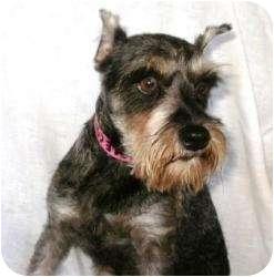 Schnauzer (Miniature) Dog for adoption in North Benton, Ohio - Jessy toy schnauzer