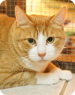 Domestic Shorthair Cat for adoption in Medford, Massachusetts - Maui