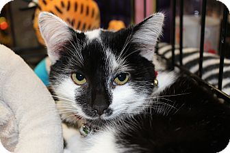 Domestic Shorthair Kitten for adoption in Santa Monica, California - Lilly