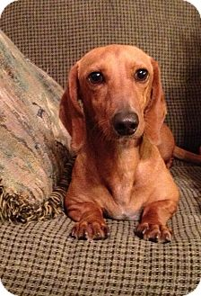 Dachshund Mix Dog for adoption in Walker, Louisiana - Charlie