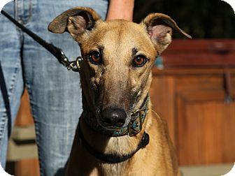 Greyhound Dog for adoption in Walnut Creek, California - THORPE