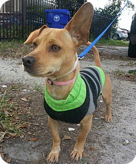 Dachshund/Chihuahua Mix Dog for adoption in Miami, Florida - Elfie