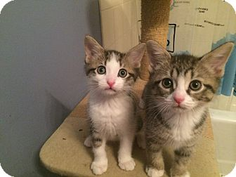 Domestic Shorthair Kitten for adoption in Chicago, Illinois - Amy and Philip