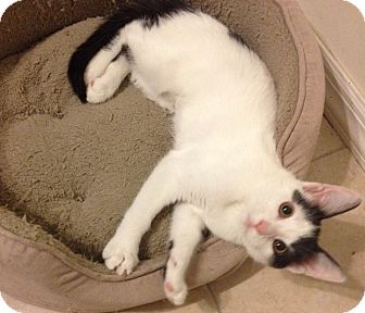 Domestic Shorthair Kitten for adoption in Mt. Pleasant, Pennsylvania - Maggie
