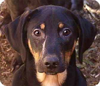 Golden Retriever/Black and Tan Coonhound Mix Puppy for adoption in Staunton, Virginia - Macie