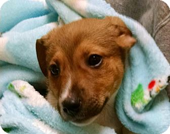 Jack Russell Terrier Mix Puppy for adoption in Glenwood, Minnesota - Tank