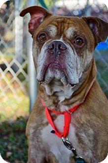 English Bulldog Mix Dog for adoption in Bradenton, Florida - Dewey