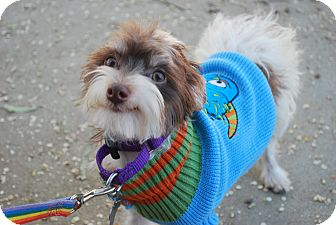 Yorkie, Yorkshire Terrier/Maltese Mix Dog for adoption in Sherman Oaks, California - Zion