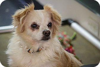 King Charles Spaniel/Chihuahua Mix Dog for adoption in Studio City, California - Marko