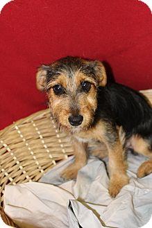 Terrier (Unknown Type, Medium) Mix Puppy for adoption in Waldorf, Maryland - Rocky
