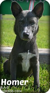 German Shepherd Dog/Pit Bull Terrier Mix Dog for adoption in Beaumont, Texas - Homer