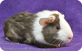 Guinea Pig for adoption in Benbrook, Texas - Thyme