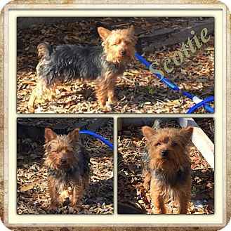 Yorkie, Yorkshire Terrier Mix Dog for adoption in East Hartford, Connecticut - Scottie-pending adoption