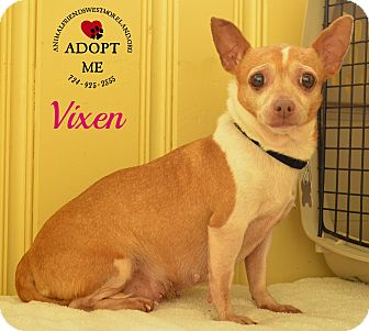 Chihuahua Mix Dog for adoption in Youngwood, Pennsylvania - Vixen