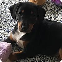 Adopt A Pet :: Georgia - Washington, PA