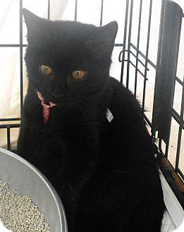 Domestic Shorthair Cat for adoption in Parkton, North Carolina - Traveler