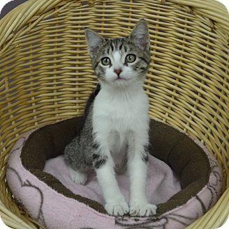 Domestic Shorthair Kitten for adoption in Wheaton, Illinois - Mistletoe