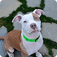 Adopt A Pet :: Sampson - Reisterstown, MD