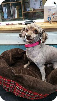Poodle (Miniature) Dog for adoption in Crump, Tennessee - Kalvin