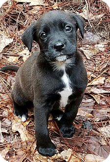 Labrador Retriever Mix Puppy for adoption in Groton, Massachusetts - Lucy