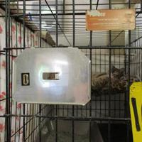 Domestic Shorthair/Domestic Shorthair Mix Cat for adoption in West Monroe, Louisiana - 34525047