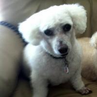 Adopt A Pet :: Gigi - St. Petersburg, FL