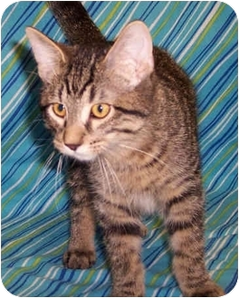 Domestic Shorthair Kitten for adoption in Murphysboro, Illinois - Bean