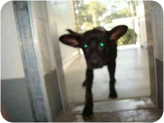 Labrador Retriever Mix Dog for adoption in Greenville, North Carolina - Camille